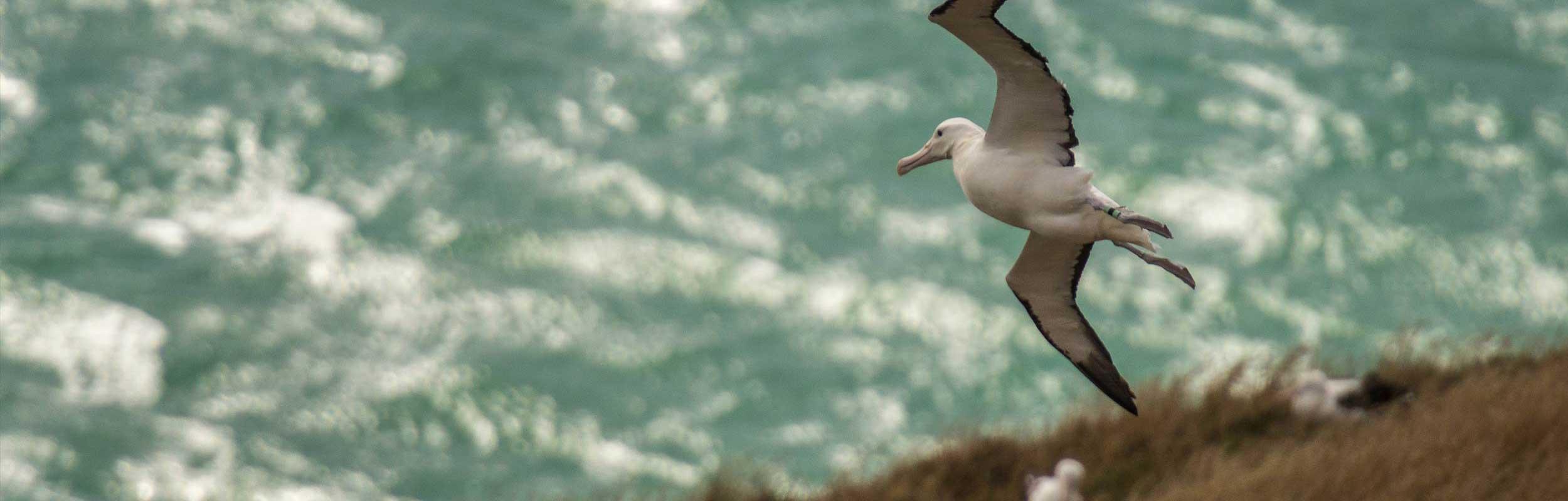 Albatross on the Otago Peninsula ( photo credit James Lewis)