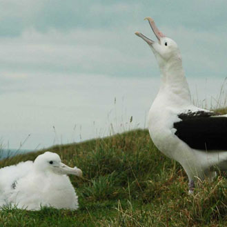 Two albatross at Taiaroa Head